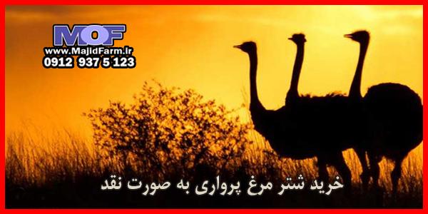 بهترین خریدار شتر مرغ زنده در تهران