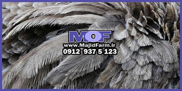 فروش پر مرغوب شتر مرغ